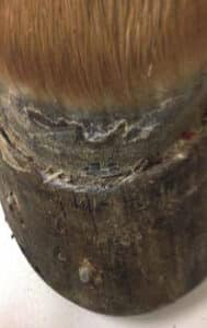 Selenium toxicity and horse hoof