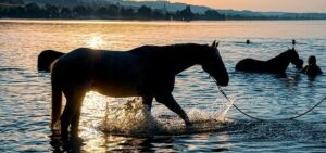 horse swimming for therapy