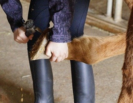 Picking hooves is part of daily horse care
