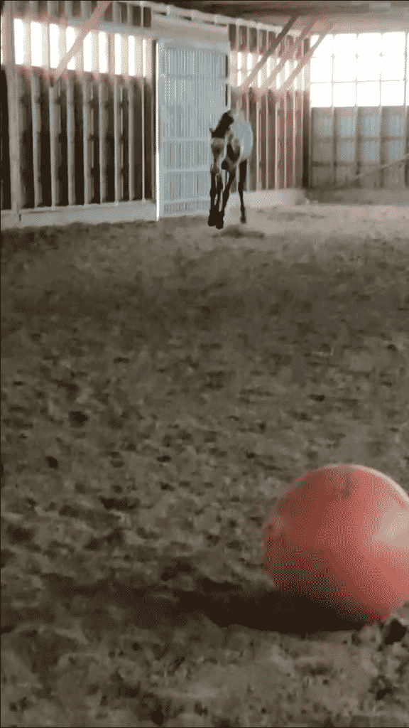 Promptly bucking and running around after he finished sniffing a little bit and letting off some steam. This is totally fine (albeit sometimes a bit unnerving)!